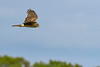 NorthernHarrier-EmeraldaMarsh-3-13-19-SJS-026