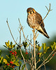 AmericanKestrel-PineMeadows-12_4_19-SJS-001