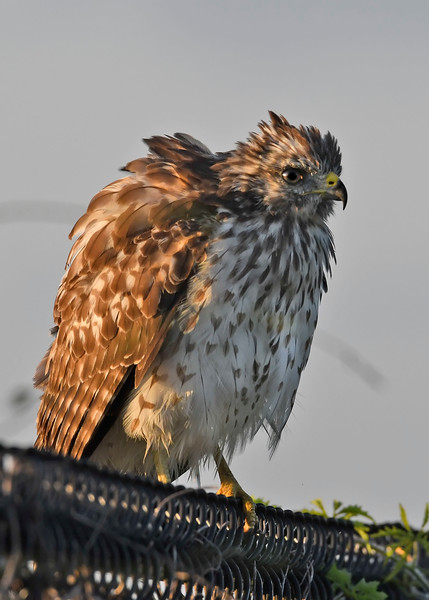 Red-ShoulderedHawk-LAWD-9-14-18-SJS-007