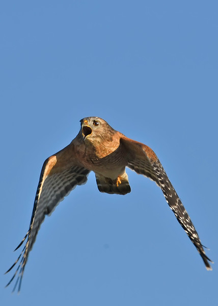 Red-ShoulderedHawk-EmeraldaMarshFL-10-12-18-SJS-007