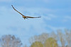 NorthernHarrier-EmeraldaMarshFL-11-18-18-SJS-072
