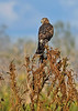 NorthernHarrier(female)-EmeraldaMarshFL-11-17-18-SJS-001