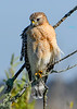 Red-ShoulderedHawk-LAWD-11-16-18-SJS-013