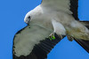 SwallowtailedKite-LAWD-7-24-20-sjs-027