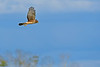 NorthernHarrier-EmeraldaMarshFL-11-18-18-SJS-103