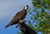 Osprey-EmeraldaMarsh-3-14-20-SJS-001
