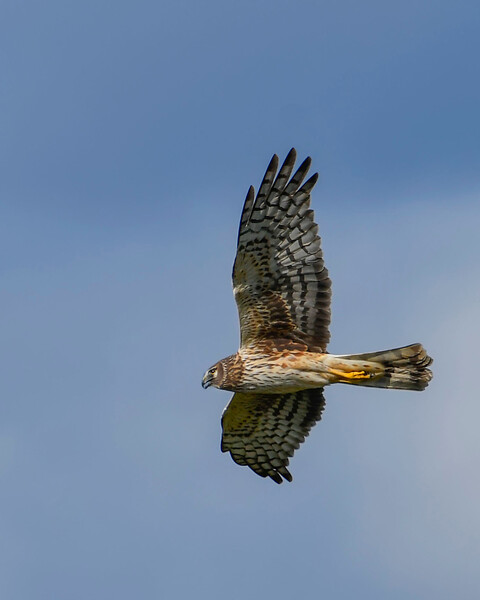 NorthernHarrier-EmeraldaMarsh-3-14-20-SJS-007