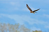NorthernHarrier-EmeraldaMarshFL-11-18-18-SJS-068