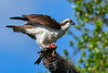 Osprey-EmeraldaMarsh-3-14-20-SJS-005