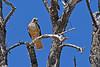 Red-TailedHawk-Utah-6-27-18-SJS-010