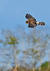 NorthernHarrier-EmeraldaMarshFL-11-18-18-SJS-063