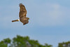 NorthernHarrier-EmeraldaMarsh-3-13-19-SJS-022