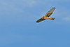 NorthernHarrier-EmeraldaMarshFL-11-18-18-SJS-053