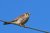 AmericanKestrel(female)-EmeraldaMarsh-11-2-20-sjs-01