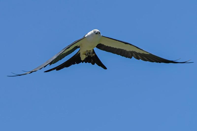 SwallowtailedKite-LakeYale-5-3-20-SJS-02