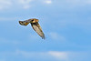 NorthernHarrier-EmeraldaMarshFL-11-18-18-SJS-093