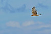 NorthernHarrier-EmeraldaMarshFL-11-18-18-SJS-042
