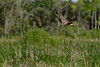 NorthernHarrier-EmeraldaMarsh-3-13-19-SJS-007