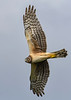 NorthernHarrier-EmeraldaMarsh-3-13-19-SJS-044
