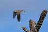 AmericanKestrel(male)-MerrittIslandNWR-12-29-20-sjs-006