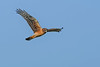 NorthernHarrier(female)-LAWD-1-25-19-SJS-004