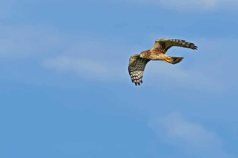NorthernHarrier-EmeraldaMarshFL-11-18-18-SJS-051
