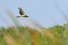 NorthernHarrier-EmeraldaMarsh-3-13-19-SJS-014