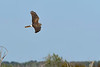 NorthernHarrier-LAWD-3-7-20-SJS-003