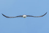 SwallowTailedKite-LakeYale-7-24-2020-sjs-004
