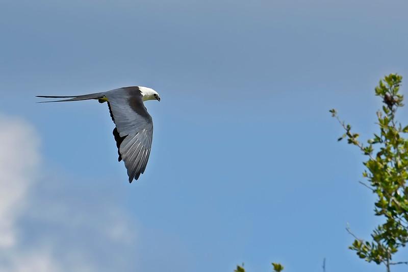 Swallow-TailedKite-LAWD-7-13-18-SJS-029