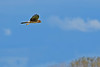 NorthernHarrier-EmeraldaMarshFL-11-18-18-SJS-107