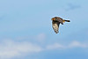 NorthernHarrier-EmeraldaMarshFL-11-18-18-SJS-040