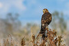 NorthernHarrier(female)-EmeraldaMarsh-11-17-18-SJS-002