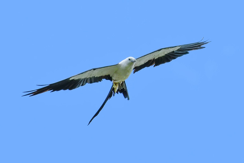 Swallow-TailedKite-LAWD-8-4-19-SJS-018