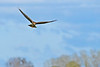 NorthernHarrier-EmeraldaMarshFL-11-18-18-SJS-079