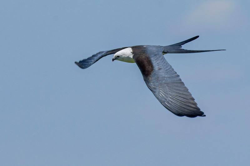 SwallowtailedKite-LakeYale-5-3-20-SJS-06