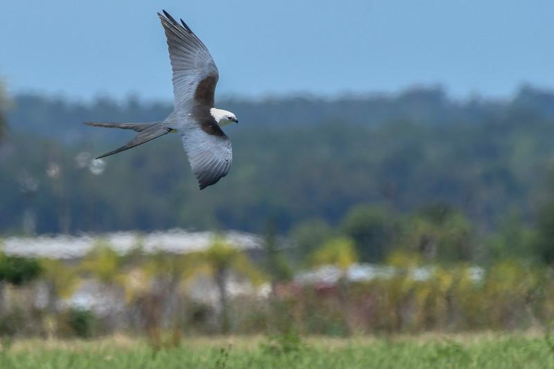 SwallowtailedKite-LakeYale-5-3-20-SJS-03