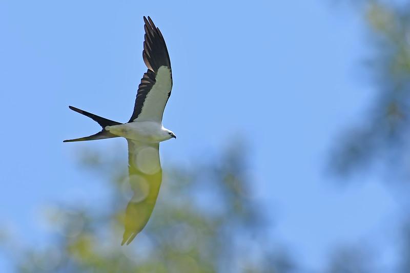 Swallow-tailedKite-BokTowerFL-6-10-18-SJS-002