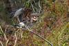 SnailKite-LaChuaTrail-12-20-19-SJS-008