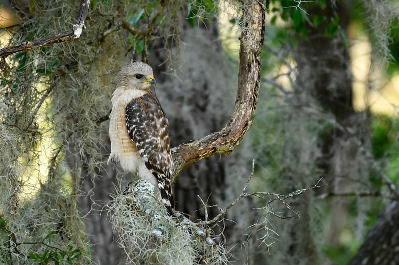 Red-ShoulderedHawk-LYE-4-13-18-SJS-001