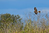 NorthernHarrier-EmeraldaMarshFL-11-18-18-SJS-022