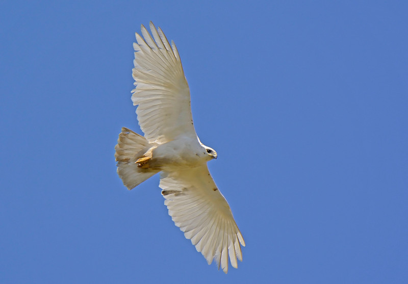 Red Tailed Hawk (Leucistic)