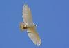 Red Tailed Hawk (Leucistic)