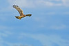 NorthernHarrier-EmeraldaMarshFL-11-18-18-SJS-087