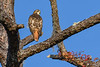 RedTailedHawk-PineMeadows-1-7-20-SJS-001