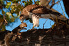 Red-Tail Hawk