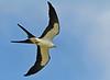 Swallow-tailedKites-Florida-7-24-18-SJS-010