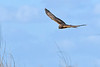 NorthernHarrier-LAWD-11-23-18-SJS-06