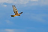 NorthernHarrier-EmeraldaMarshFL-11-18-18-SJS-095