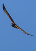 NorthernHarrier(female)-LAWD-1-25-19-SJS-011